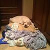 Donna Vis dog - Cooper on clothes pile