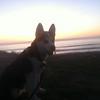 Dexter as wolf dog1