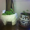 Susan potted plants