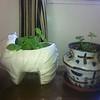 Susan potted plants