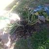 Susan plants