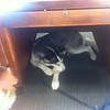 Dexter under desk