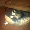 Dexter on dog bed