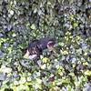 Kenya in ivy