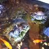 Turtles at JoAnne Cafe