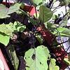 Grandma egg plant