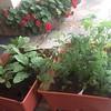 GMa's veggie plants