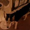 Dexter as skunk 10-31-2013