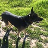 Kenya Puppy Dog the American Bully Dog