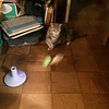 Kitty playing with new toy