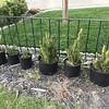 Grandma cactus