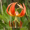 Lilium superbum, Turk's Cap Lily; Atlantic County, New Jersey 2014-07-19   1