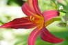 Day Lily red