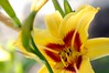 Day Lily yellow