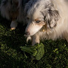 The prednisone she was taking gave her a voracious appetite (it was already robust). She stole a head of raw broccoli
