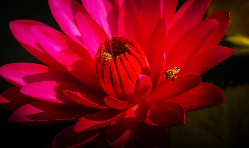 Lily and Honey Bee - 4.jpg