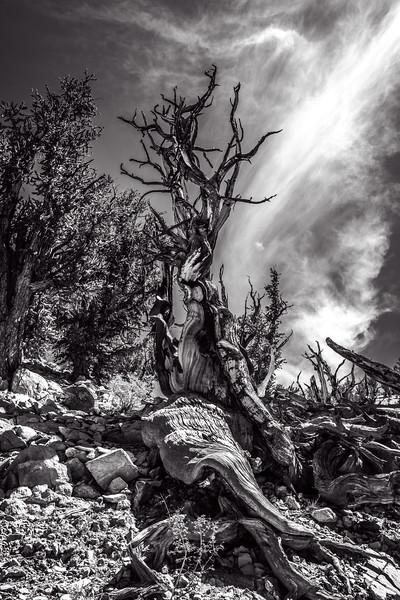 Bristlecone Pine on Slope