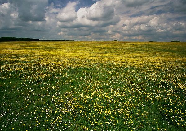 Rapeseed Fields in Wiltshire, England