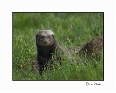 """Who is Here?""  Honey Badger, Ngorongoro Crater, Tanzania"