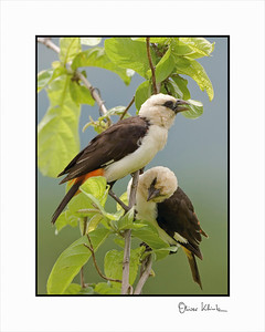 """On a Perch""  White-Headed Weavers, Ruaha, Tanzania"