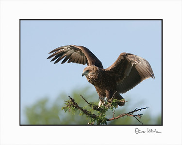 """Fly Away""  African Batteleur Eagle, Serengeti, Tanzania"