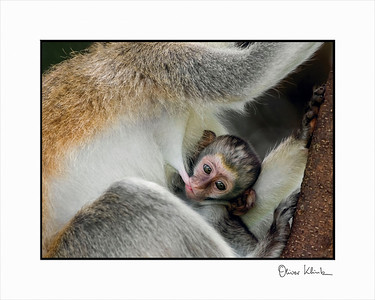 """Happiest Place in the World""  Vervet Monkeys, Lake Manyara, Tanzania"