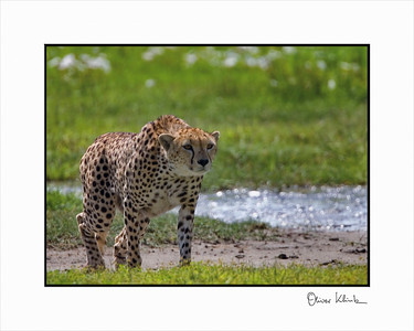 """Hungry Cat""  Cheetah, Ngorongoro Crater, Tanzania"