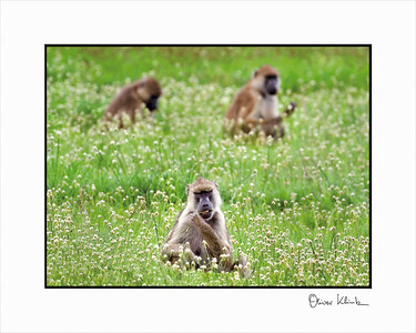 """Lunch is Served""  Yellow Baboon, Ruaha, Tanzania"