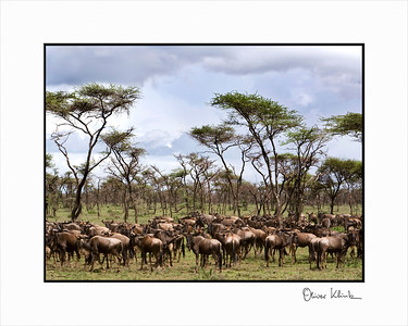 """The Annual Migration""  Wilderbeasts and Acacia Trees, Serengeti, Tanzania"