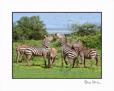 """Zebra Playground""  Zebras, Lake Manyara, Tanzania"