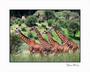 """I am Taller""  African Giraffes, Taranguire, Tanzania"