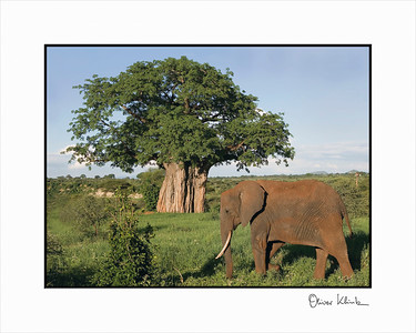 """African Dream""  Baobab Tree, Elephant and Giraffe, Taranguire, Tanzania"