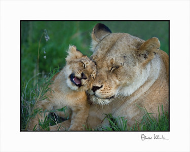 """I Love you Mom""  African Lions, Serengeti, Tanzania"