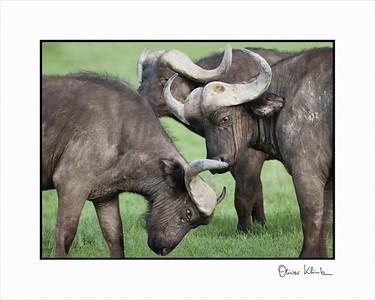 """My Space""  African Buffalos, Ngorongoro Crater, Tanzania"