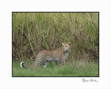 """""""Hide and Seek""""  Leopard, Seregenti, Tanzania"""