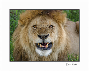 """Keep your Distance""  Lion, Serengeti, Tanzania"