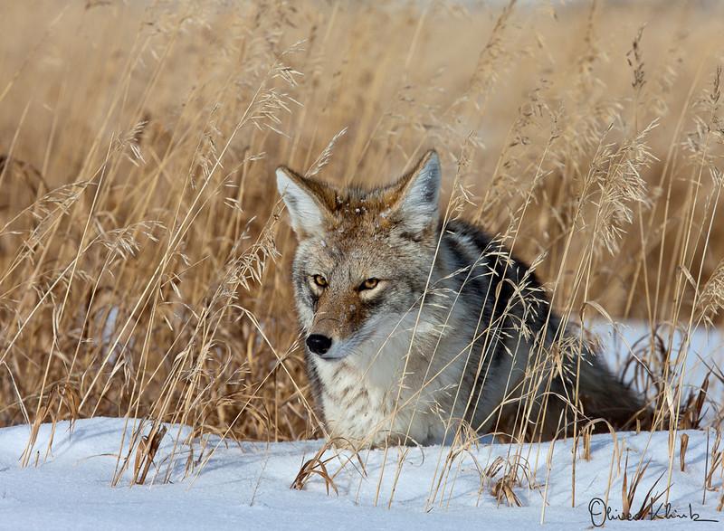 COY_002; Coyote #2