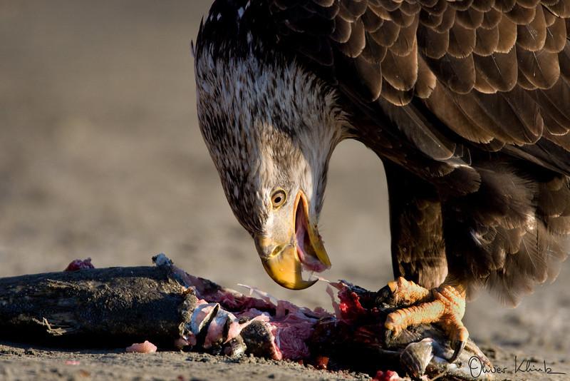"""""""Eagle and Salmon 5"""""""
