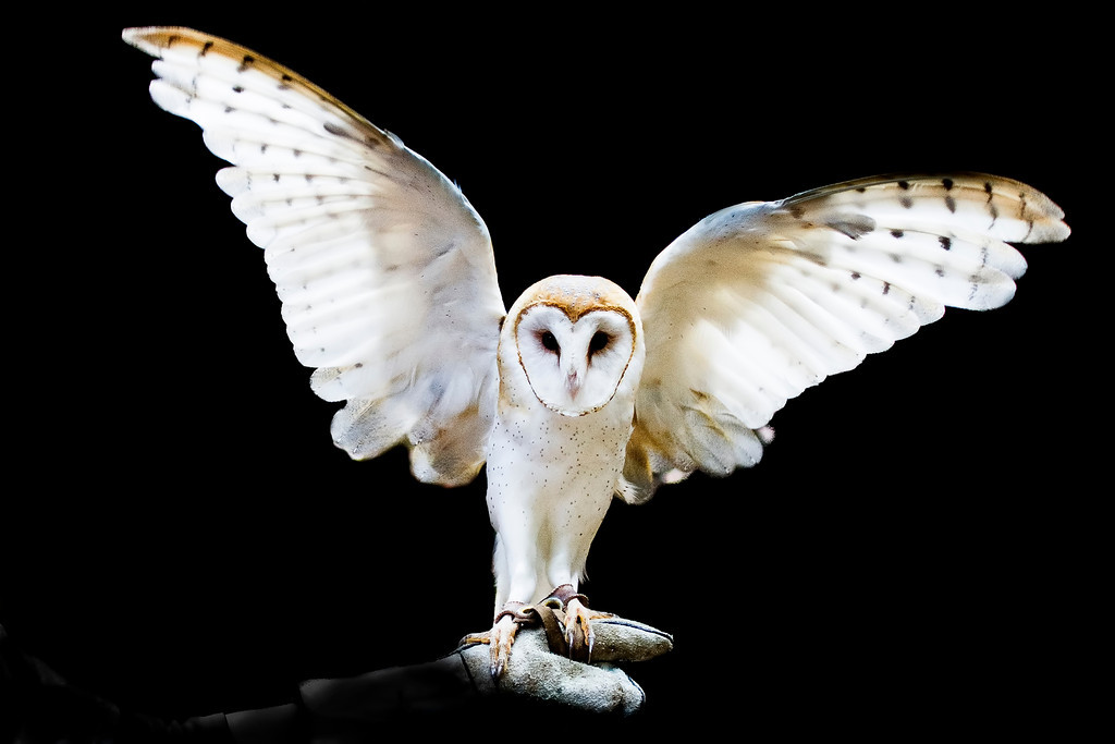 """© 2013 Susan Dinga - Barn owl<br /> <br /> I signed up for this workshop at Sulphur Creek not knowing anything about the site or organization.  The Wednesday following the workshop I was scheduled for hip replacement surgery.  I was pretty much a wreck and thought I need to do something I love to get out of my grief and stress.  I had no idea such a place existed in Hayward.  Here were in this peaceful natural landscape, alive and lovely in the midst of urban """"getting and spending!""""  Here also were survivors and their loving volunteer caretakers and handlers.  When Itzhak Perlman broke a string in the middle of a concert and completed the piece with 3 strings people asked him how come he didn't stop and change out his string.  He said, """"sometimes you just have to make music with the rest of it.""""  Here these wild, wounded creatures, who, thanks to the commitment, love and caring of the people who are part of the Center, making music with the rest of it.  Letting us see them close up and personal, learn about them, photograph them, helping children and adults connect back to nature and its wonder.  Perhaps helping all of us connect back to nature, feed our souls, and connect"""