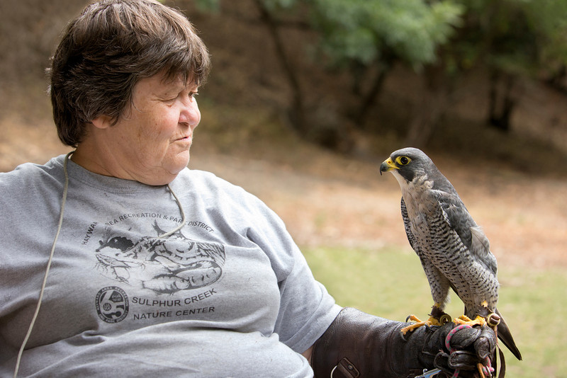 © 2013 Oliver Klink - Peregrine falcon<br /> <br /> Sulphur Creek Nature Center is the gem of Hayward. As soon as you arrive at the place, you feel the energy and the enthusiasm of the volunteers. The workshop's objective was to help each participant find a personal voice with their photography. What amazing images they all got. Incredible!<br /> Sorting thru a few hundred images we take when we are at Sulphur Creek can be a daunting task. My selection was almost instant, as I did remember the tenderness that the handler shared with the peregrine falcon. This truly represent the spirit of the place.<br /> Keep your eyes peeled for the next workshop, which we be announced for 2014 and sign up for my mailing list to be the first to get the news (oliver@incredibletravelphotos.com).
