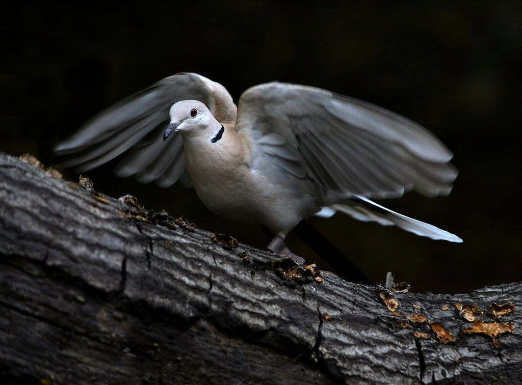 © 2013 Ron Locatelli - Ring-neck dove<br /> <br /> Connecting with these majestic animals and capturing their images has been a wonderful experience and a real treat.