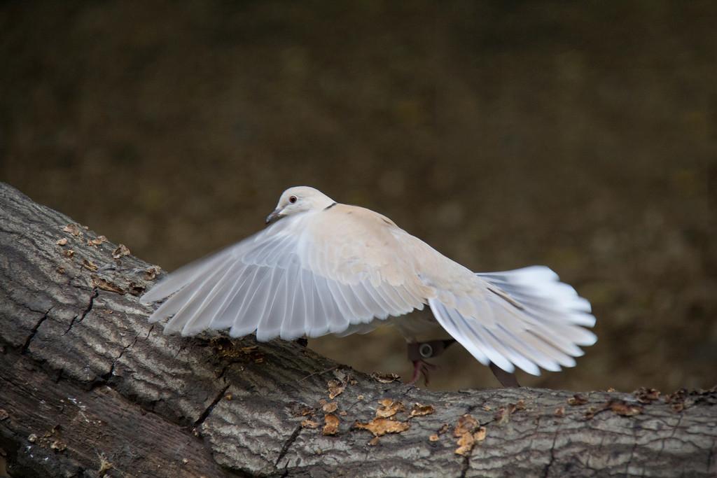 © 2013 Sue Stretch - Ring-neck dove
