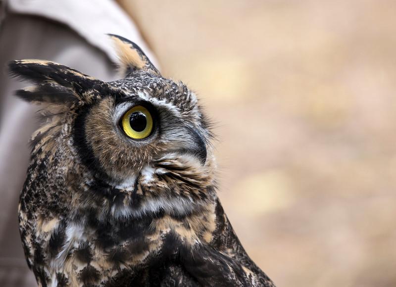 © 2013 Sylvia Gardner - Great horn owl