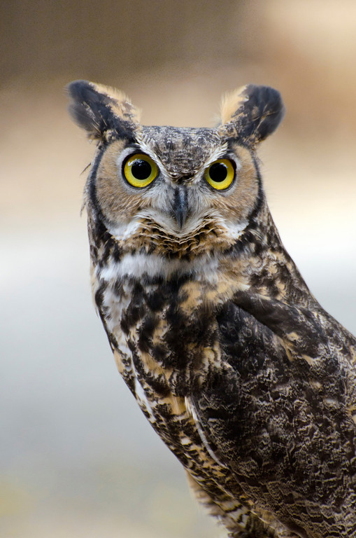 © 2013 Ilene Hertz - Great horned owl<br /> <br /> This lovely Great Horned Owl was as majestic in her stance as she was curious in her nature.  She seemed unperturbed by the click of the camera but swiveled her neck when she detected movement behind her.  I felt lucky to capture her graceful pose as she gazed at me.