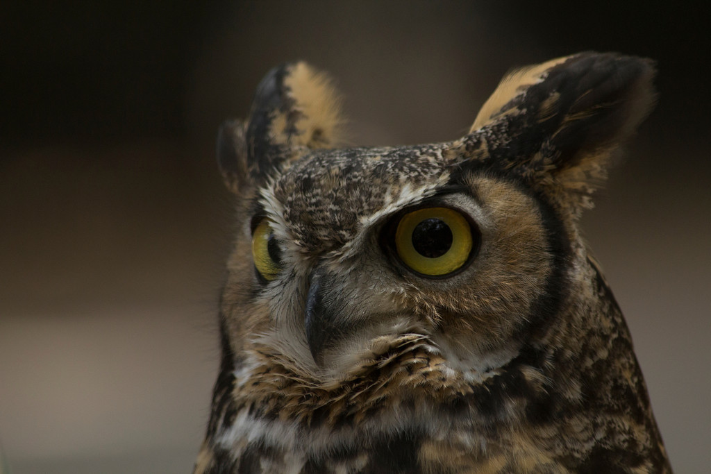 © 2013 Janet Marsh - Great horned owl<br /> <br /> It was so much fun to get up close and personal with the animals and then spend time working on the photos.  It was even better to go back the next day and try to improve my images.