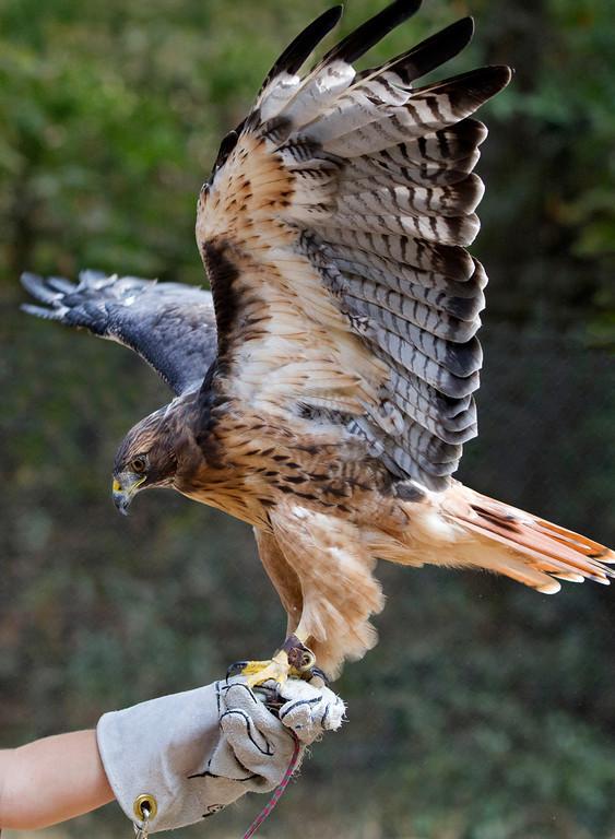 © 2013 Pete Klebofski - Red-tailed hawk