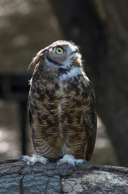 © 2013 Judy Kane - Great horned owl<br /> <br /> When I'm at Sulphur Creek Nature Center, I am amazed and honored to be able to take photographs of these beautiful birds up close.<br /> <br />  <br /> <br /> This owl is so attentive to its surroundings that it turns to face any noise it finds interesting.  Here, with the sun on its face, you can see the striking eyes and amazing textures of the feathers.  <br /> <br />  Thank you,