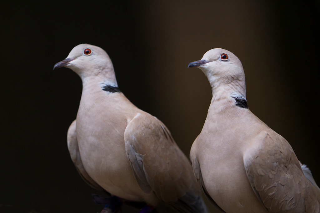 © 2013 Elise Wormuth - Ring-neck doves<br /> <br /> These Ring-necked doves, while perhaps not as exciting as the raptors or owls, look like they're made of velvet and are so calm and sweet together.  I loved having them pose for me.