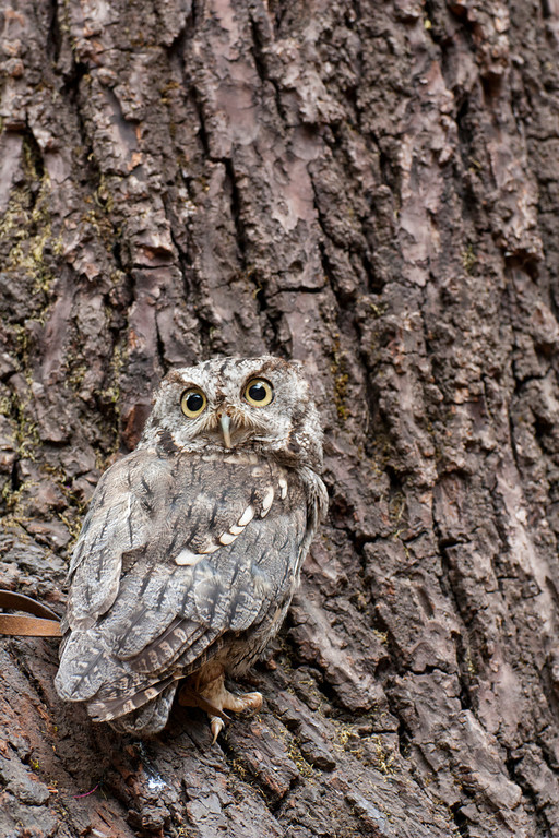 © 2013 Melanie Lewert - Screech owl<br /> <br /> The screech owl practically disappears next to the tree trunk.  You can see how its coloring makes it an effective predator.  A mouse could be sitting right next to it and it wouldn't even see the owl.