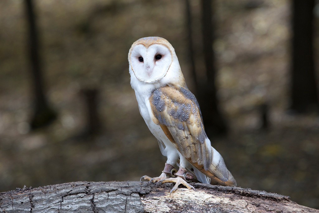 © 2013 Janet Marsh - Barn owl<br /> <br /> It was so much fun to get up close and personal with the animals and then spend time working on the photos.  It was even better to go back the next day and try to improve my images.